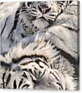 White Bengal Tigers, Forestry Farm Canvas Print
