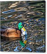 White-bibbed Mallard Canvas Print