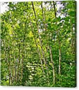 White Birch Along Rivier Du Nord Trail In The Laurentians-qc Canvas Print