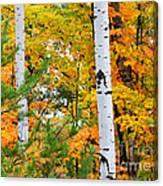 White Birch Autumn Canvas Print