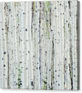 White birch tree forest Canvas Print