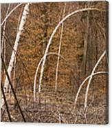 White Birch Trees In The Brown And Orange Forest Canvas Print