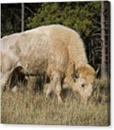 White Bison Symbol Of Hope And Renewal Canvas Print