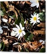 White Bloodroot Canvas Print