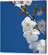 White Blossom Canvas Print