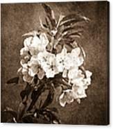 White Blossoms - Sepia Canvas Print