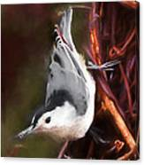 White-breasted Nuthatch - Classic Pose Canvas Print