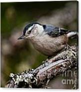 White-breasted Nuthatch Pictures 47 Canvas Print