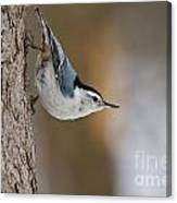 White-breasted Nuthatch Pictures 88 Canvas Print
