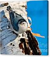 White-breasted Nuthatch Pictures 95 Canvas Print