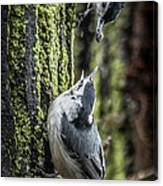 White Breasted Nuthatchs Canvas Print