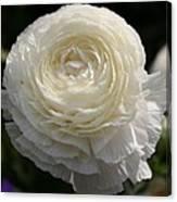 White Buttercup - Ranunculus Canvas Print