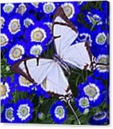 White Butterfly On Blue Cineraria Canvas Print