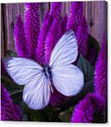 White Butterfly On Flowering Celosia Canvas Print