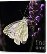White Butterfly On Lavender Against A Black Background Canvas Print