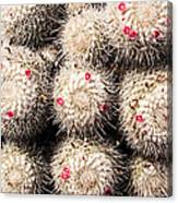 White Cactus Pink Flowers No1 Canvas Print