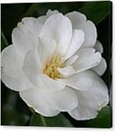 Snow White Camellia Canvas Print