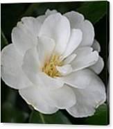 Snow White Camellia Canvas Print