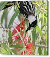 White-cheeked Honeyeater Feeding Canvas Print