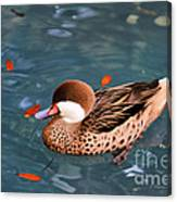 White-cheeked Pintail Canvas Print