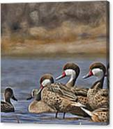 White-cheeked Pintails Canvas Print