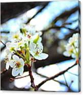 White Cherry  Canvas Print