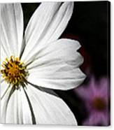 White Coreopsis Canvas Print