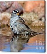 White-crowned Sparrow Bathing Canvas Print