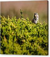 White-crowned Sparrow In A Bush Canvas Print