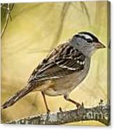 White-crowned Sparrow Pictures 63 Canvas Print