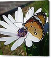 White Daisy And Butterfly Canvas Print