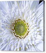 White Daisy Close Up Canvas Print