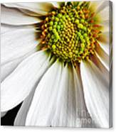 White Daisy Closeup Canvas Print