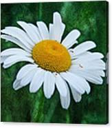 White Daisy Canvas Print