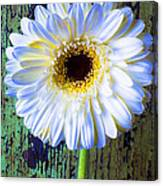 White Daisy With Green Wall Canvas Print