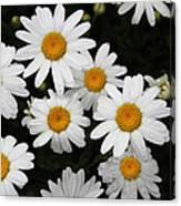 White Daisy's On The Rim Canvas Print