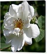 White Dog Rose Canvas Print