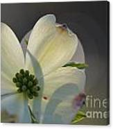 White Dogwood Blooms Series Photo K Canvas Print