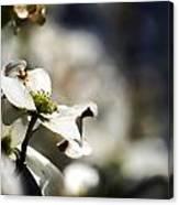 White Dogwood Flowers Canvas Print