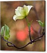White Dogwood In Early Spring Canvas Print