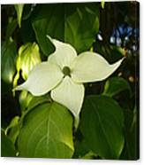 White Dogwood Canvas Print
