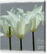 White Early Dawn Tulips White Bordered Canvas Print