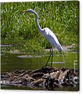 White Egret And Snapping Turtles Canvas Print