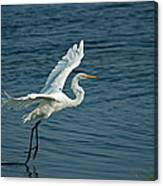 White Egret Landing Canvas Print