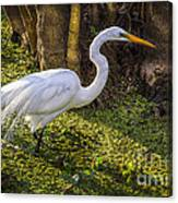 White Egret On The Hunt Canvas Print