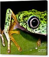 White-eyed Leaf Frog Canvas Print