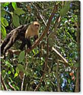 White-faced Capuchin Monkey In Manuel Antonio National Preserve-costa Rica Canvas Print