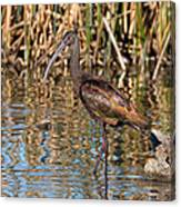 White-faced Ibis In The Wetlands Canvas Print