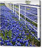 White Fence - Blue Bonnets Canvas Print