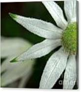 White Flannel Flowers Canvas Print